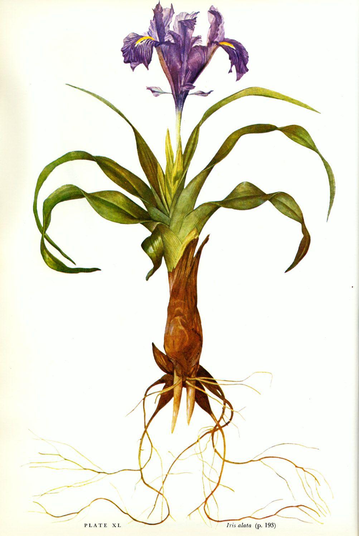 Iris alata