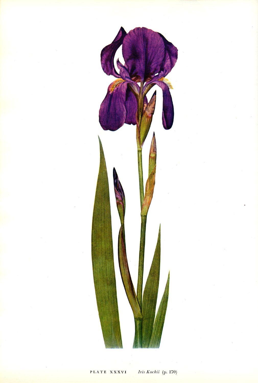 Iris kochii