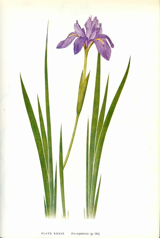 Iris nepalensis