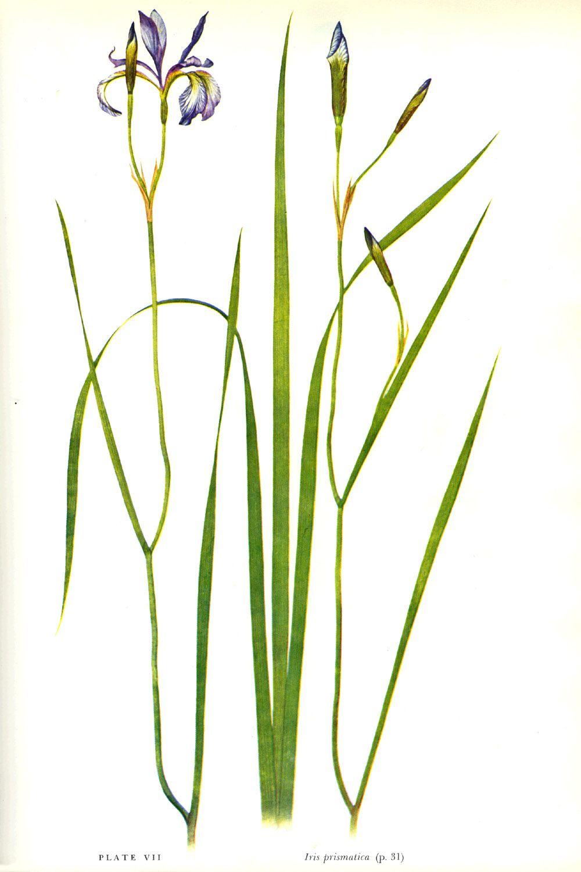 Iris prismatica