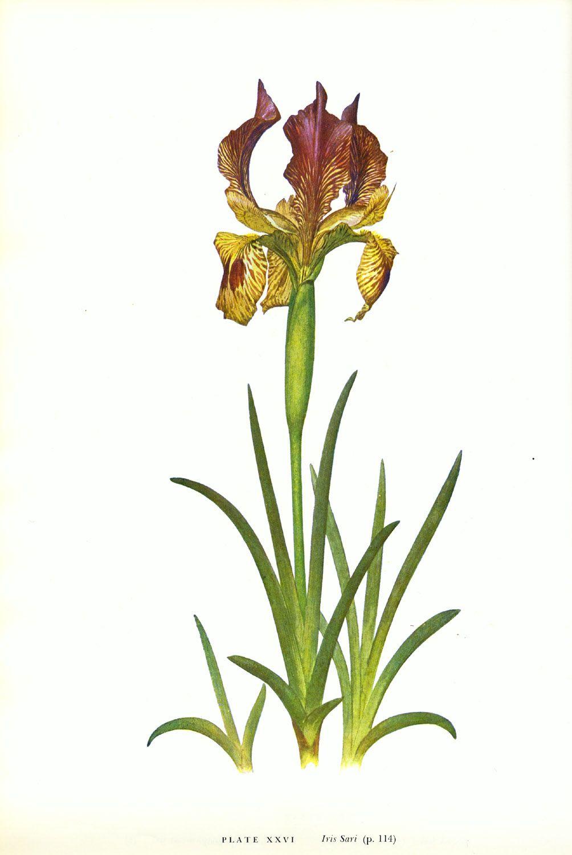 Iris sari