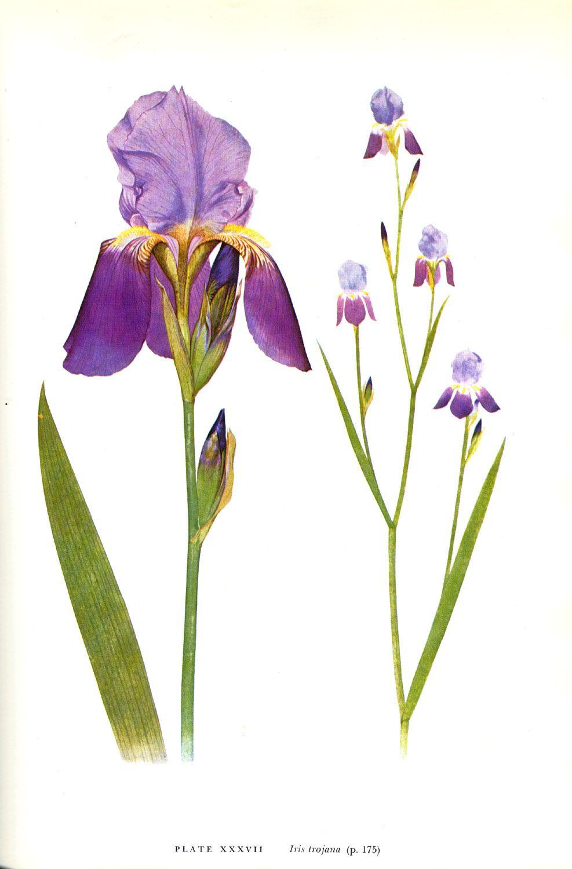 Iris trojana