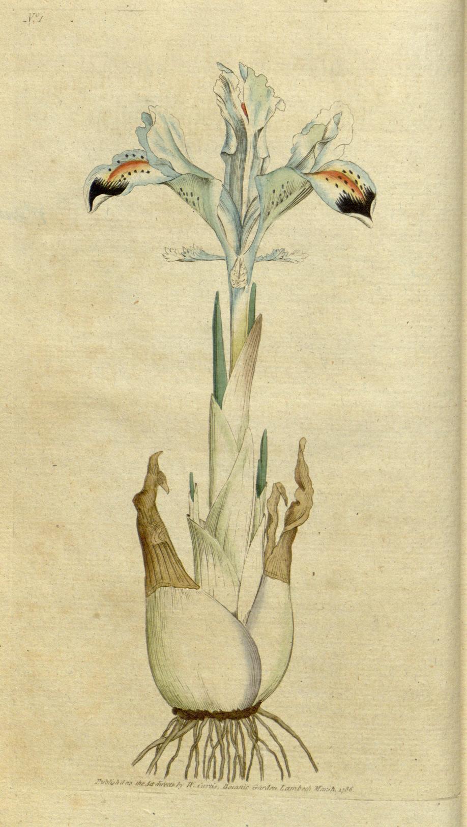 Iris alberti
