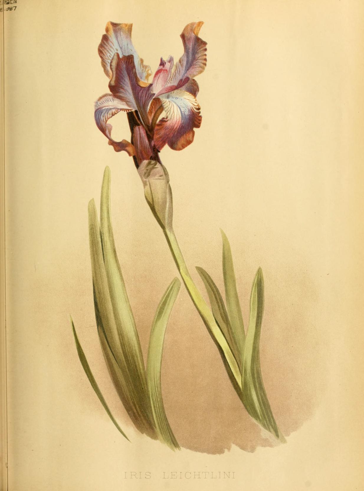 Iris Leitlinii