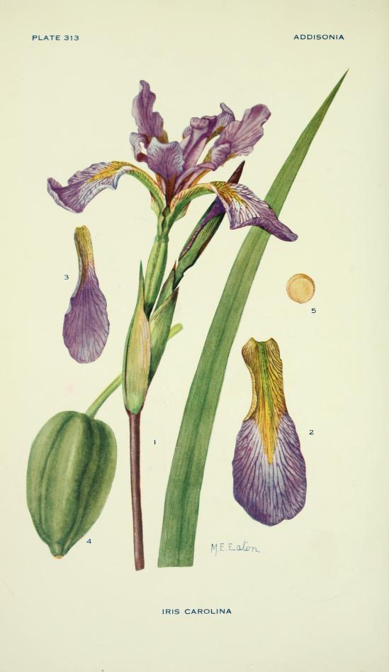 Iris carolina