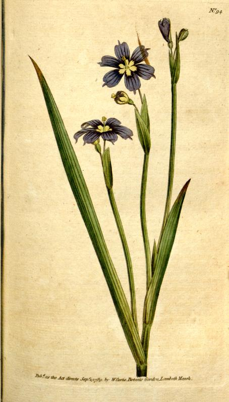 Sisyrinchium