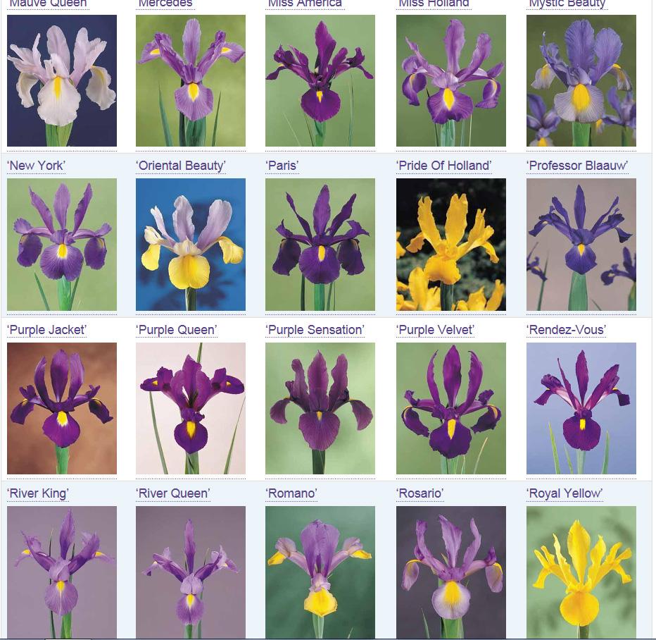 Dutch Iris Page 1 align=