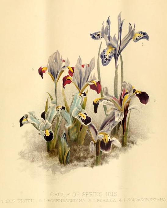 Bulbous Irises