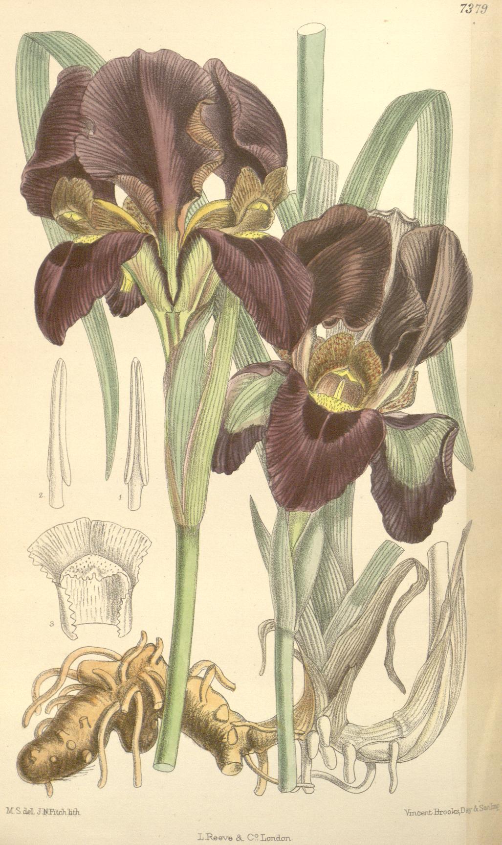 Iris albopurpurea