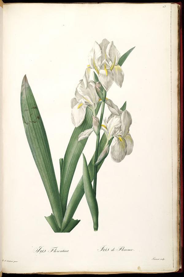Iris biflora