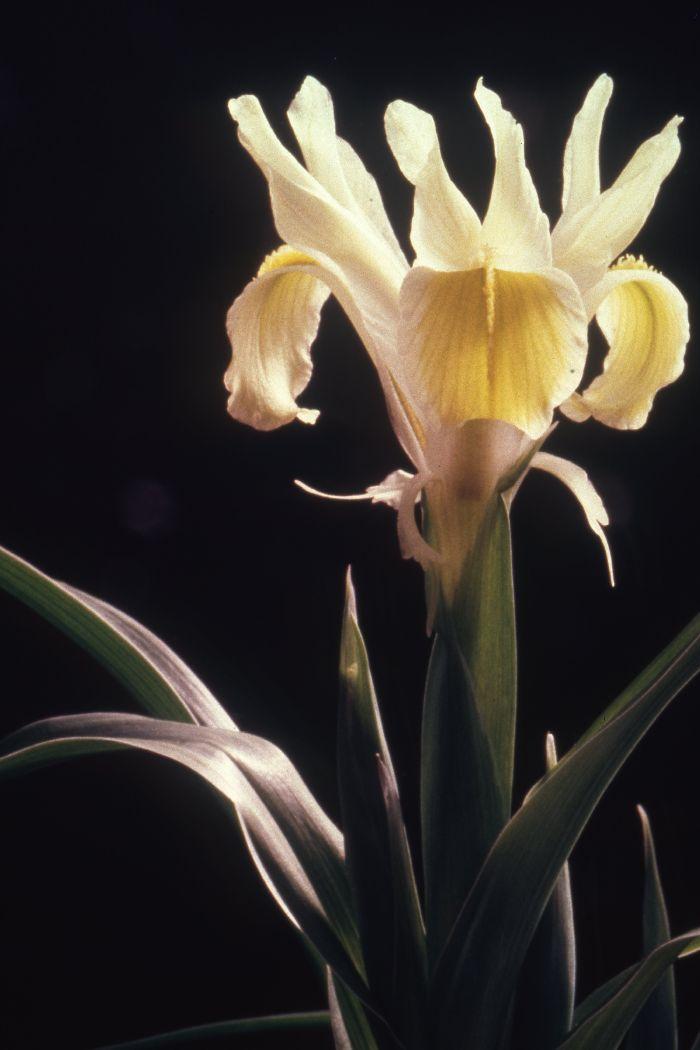 Linifolia
