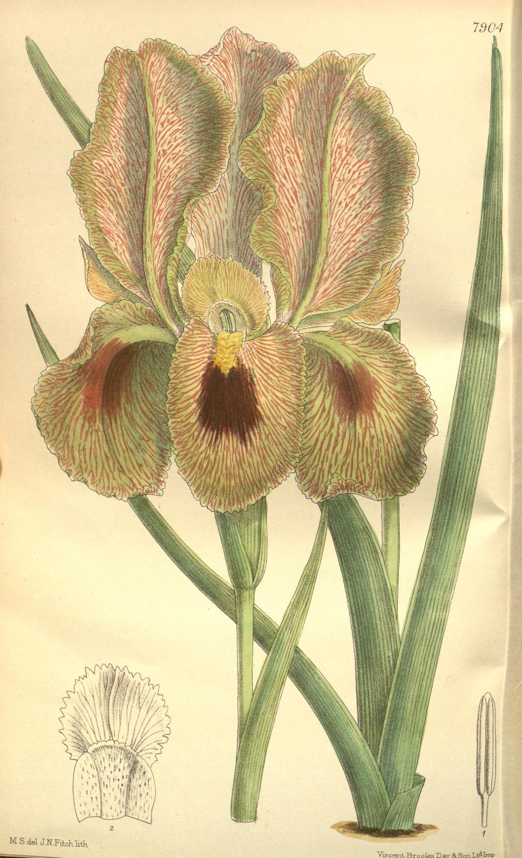 Iris lupina
