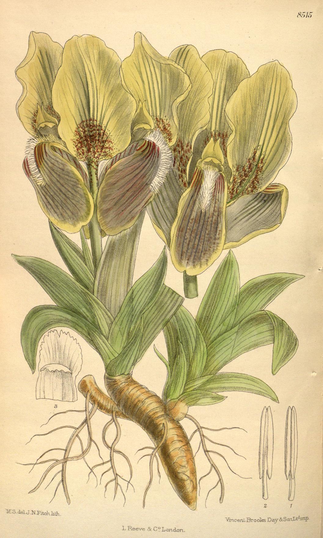 Iris mellita