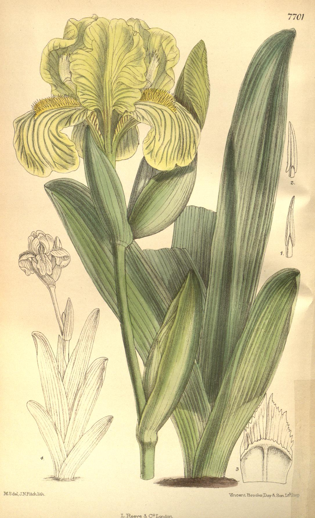 Iris obtusifolia