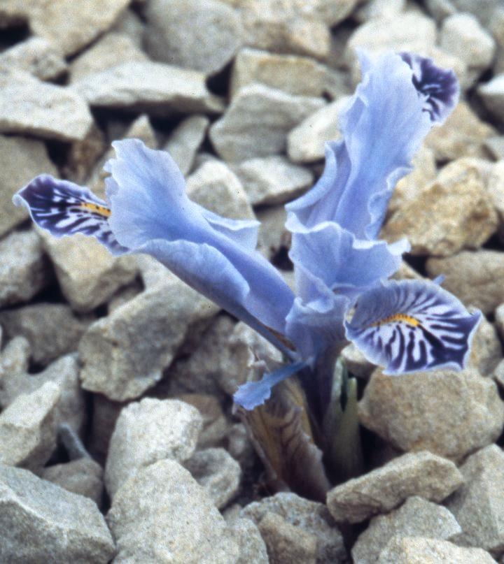 Stenophylla