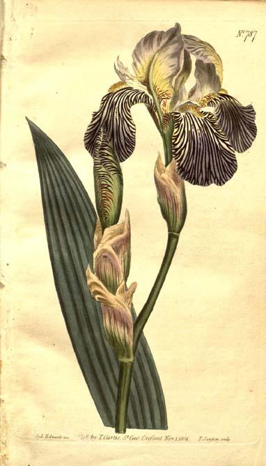 Iris squalens