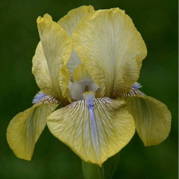 Saffron Jewel