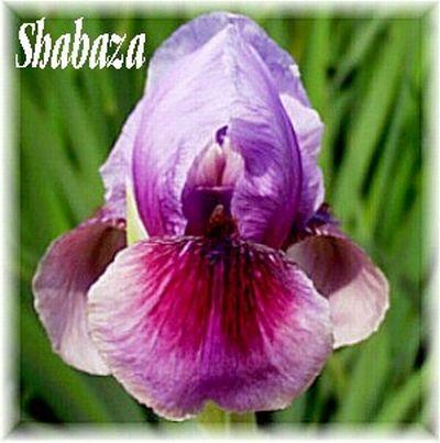 Shabaza