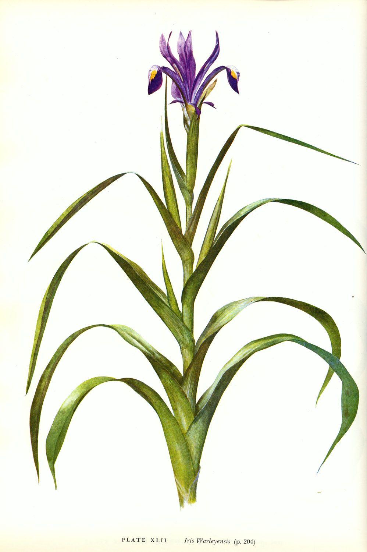 Iris warleyensis