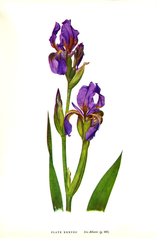 Iris albertii