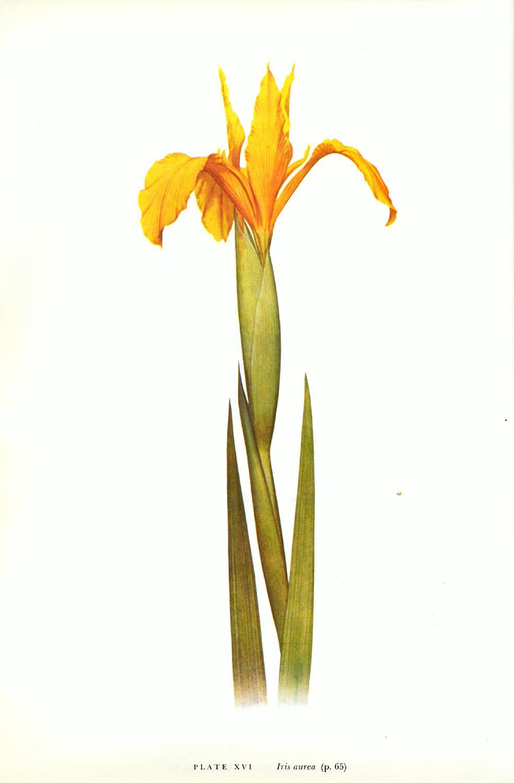 Iris Aurea