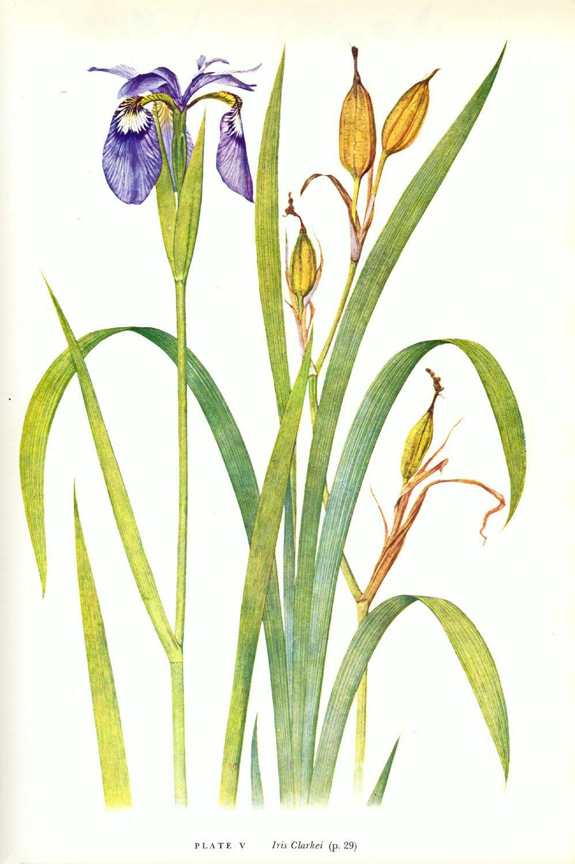 Iris clarkei