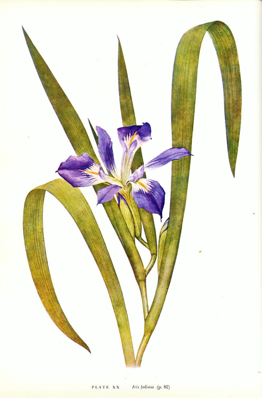 Iris Foliosa