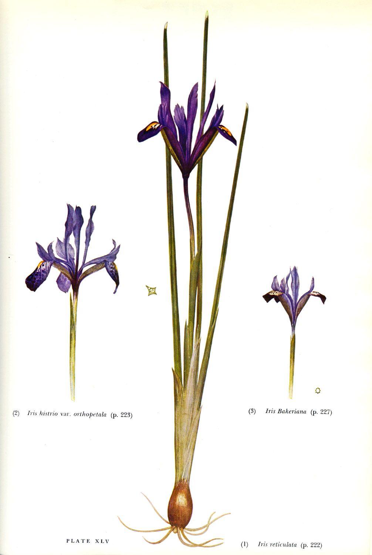 Iris histrio