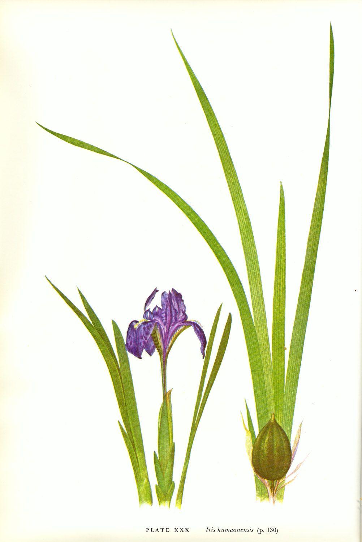 Iris kumaonensis