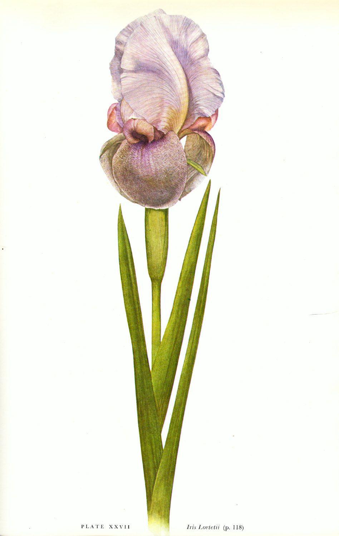 Iris lortetii