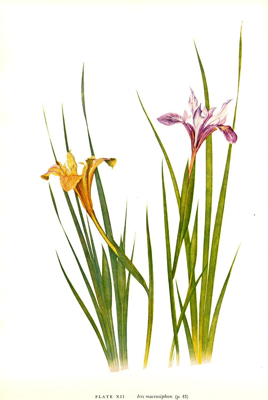 Iris Macrosiphon