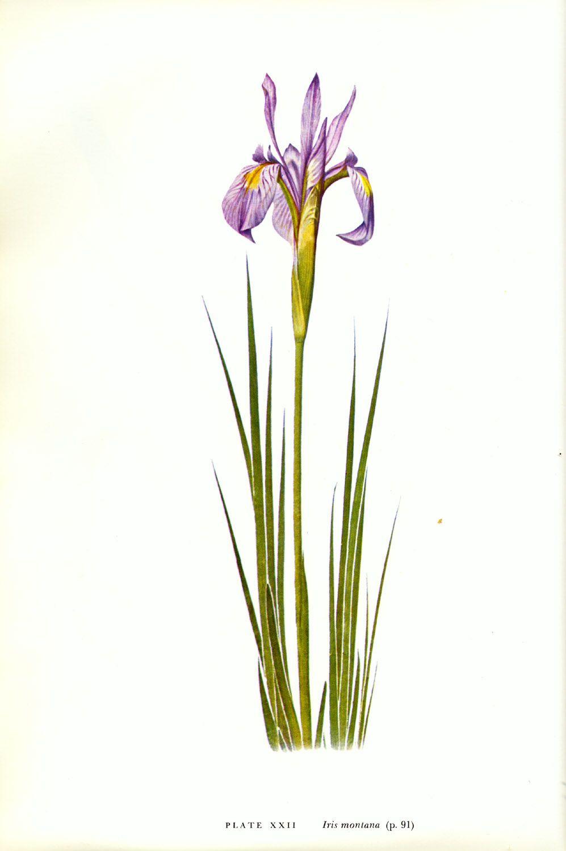Iris montana