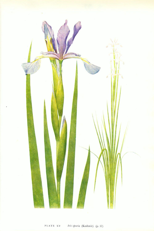 Iris spuria