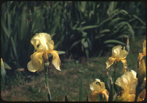Wister%20Iris%20120%20--%20Iris%20Happy%20Days%20May%2015%2c%201945.jpg