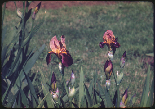 Wister%20Iris%20127%20--%20Iris%20Cheerio%20May%208%2c%201945.jpg