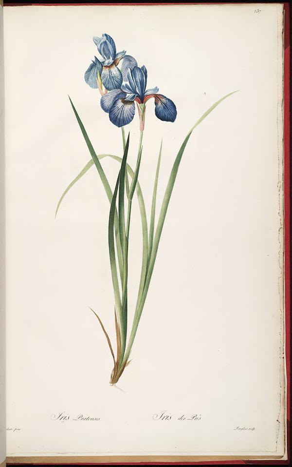 iris pratensis