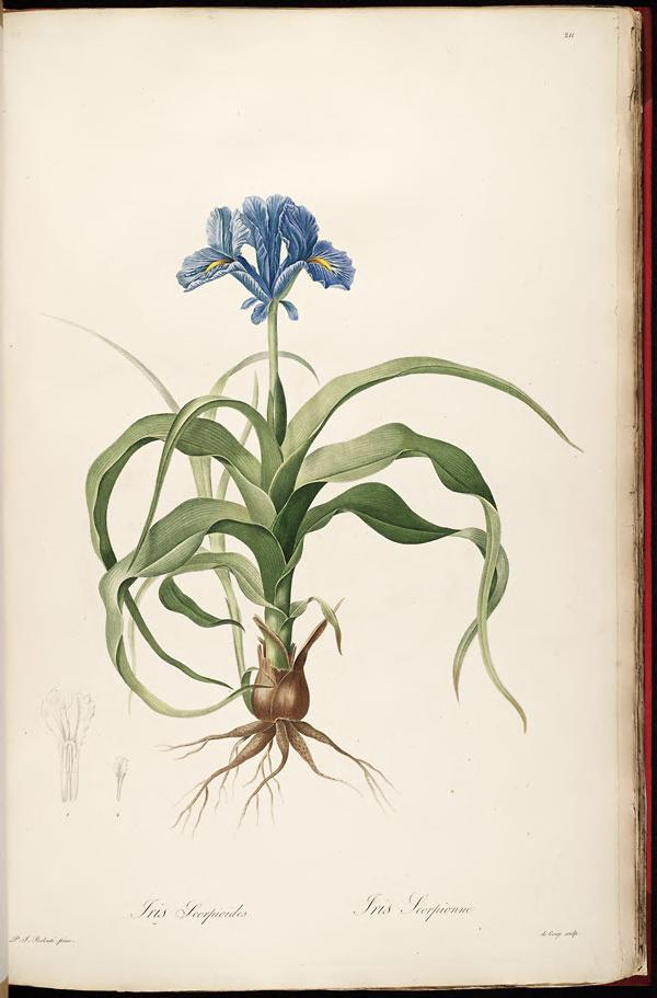 Iris scorpioides