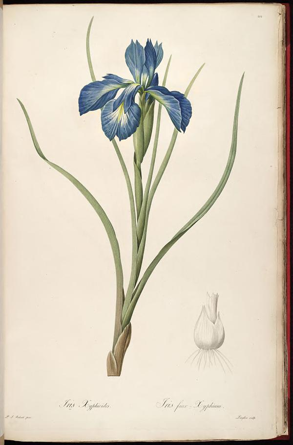 Iris Xiphioides