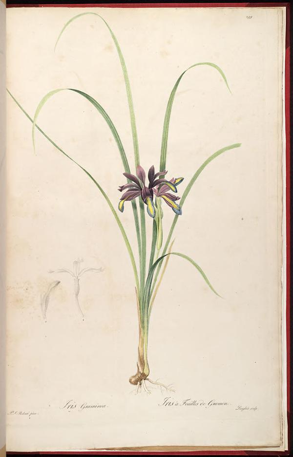 Iris Graminea