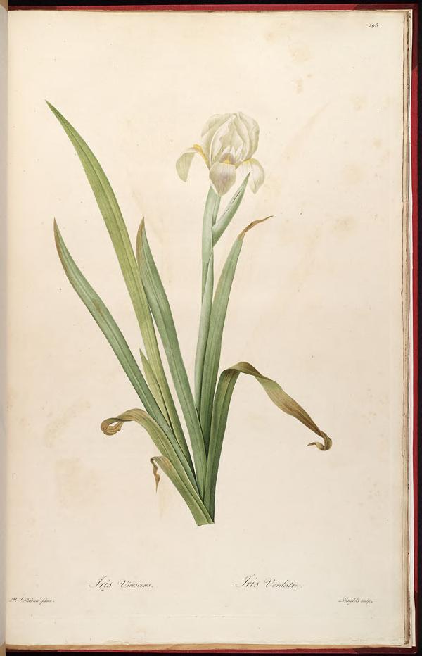 Iris Virescens