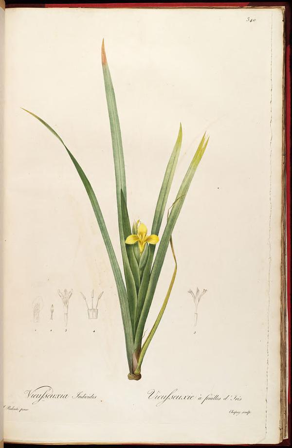 Iris Curtopetala