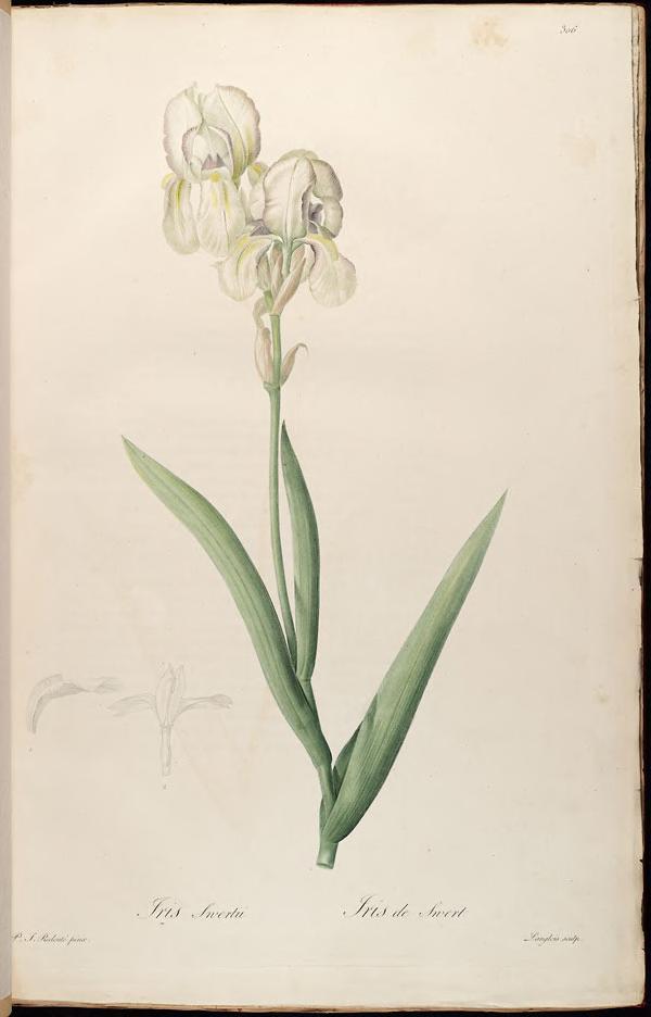 Iris Swertii