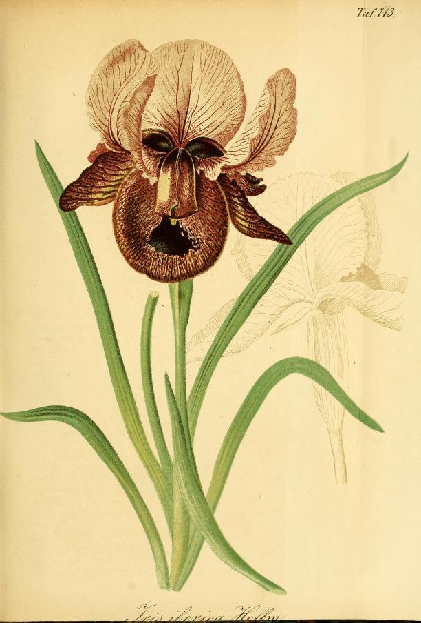 Iris Iberica