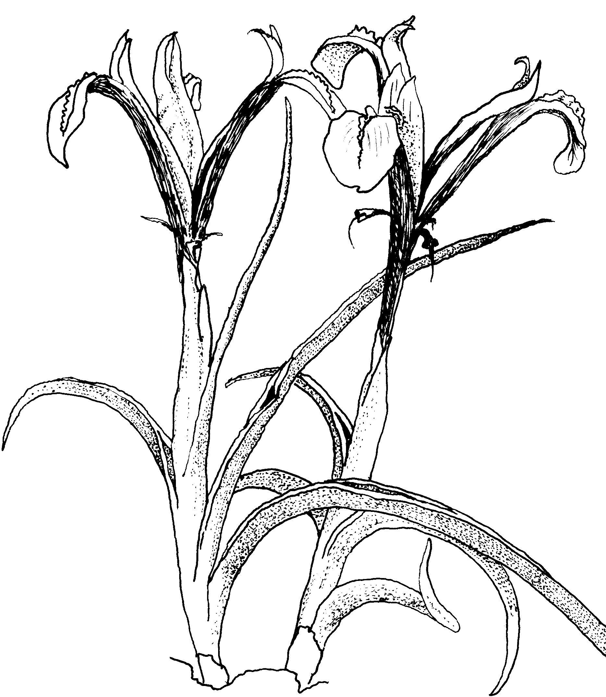 porphyrochysa
