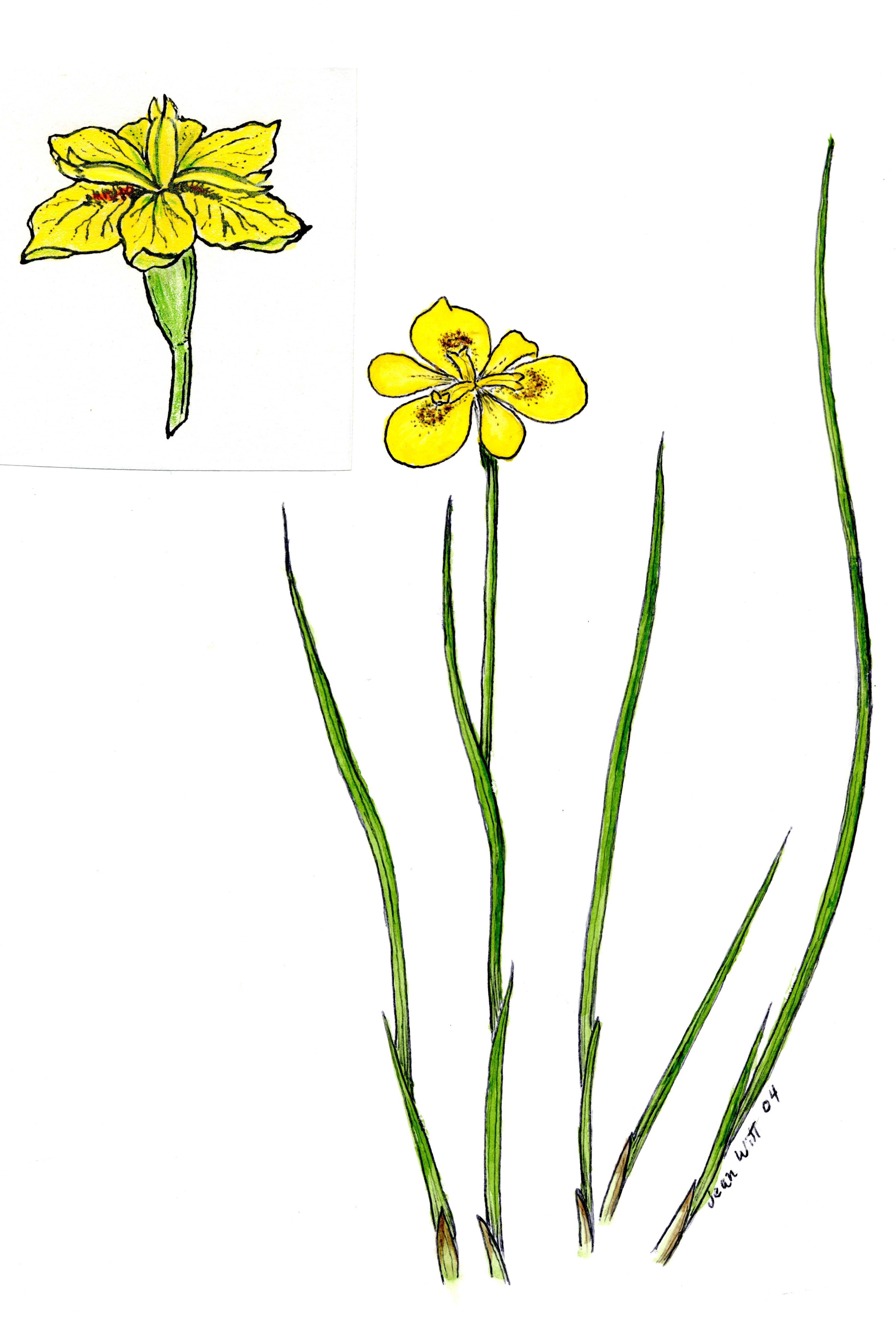 Iris narcissiflora