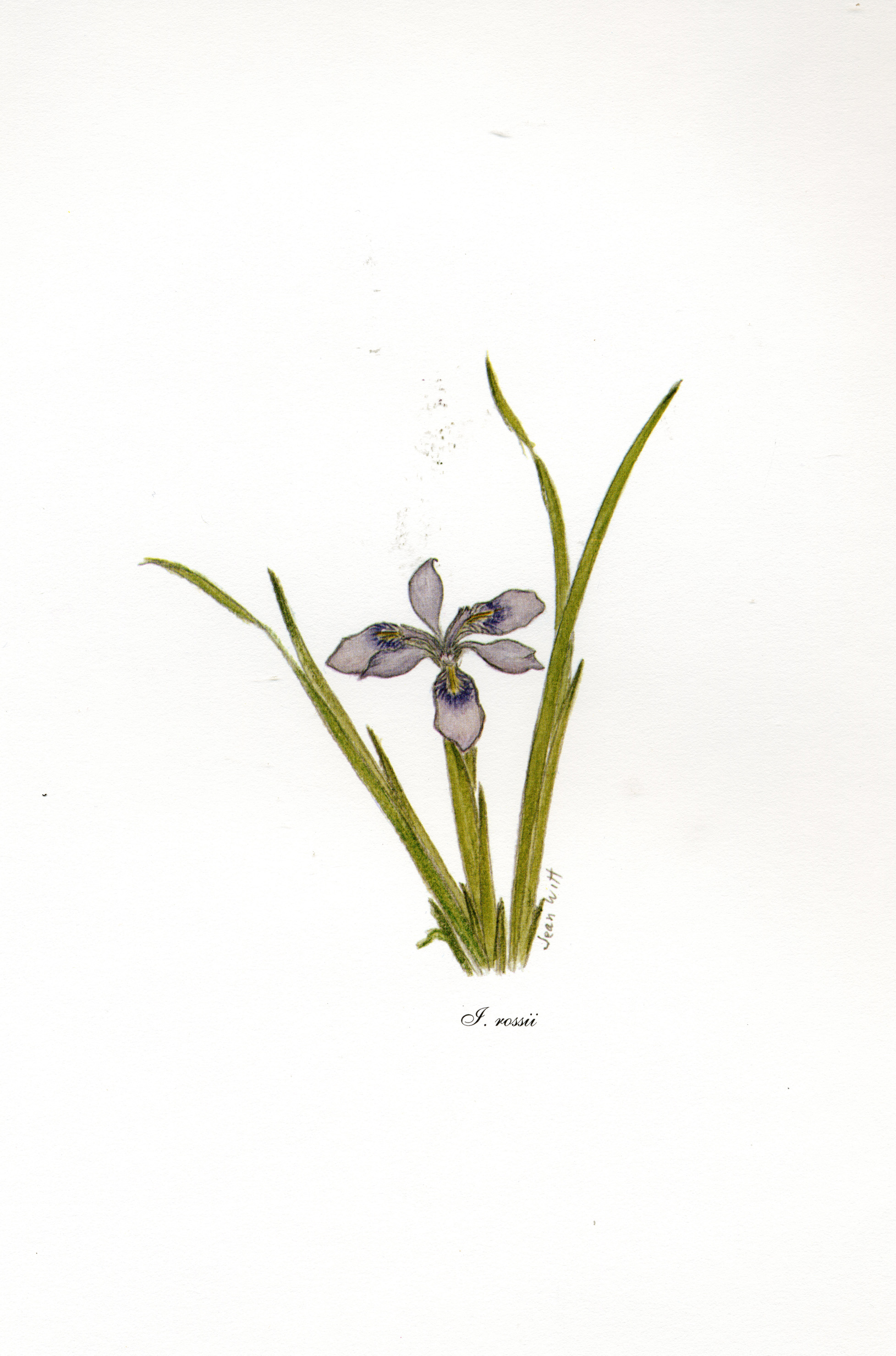 Iris rossii