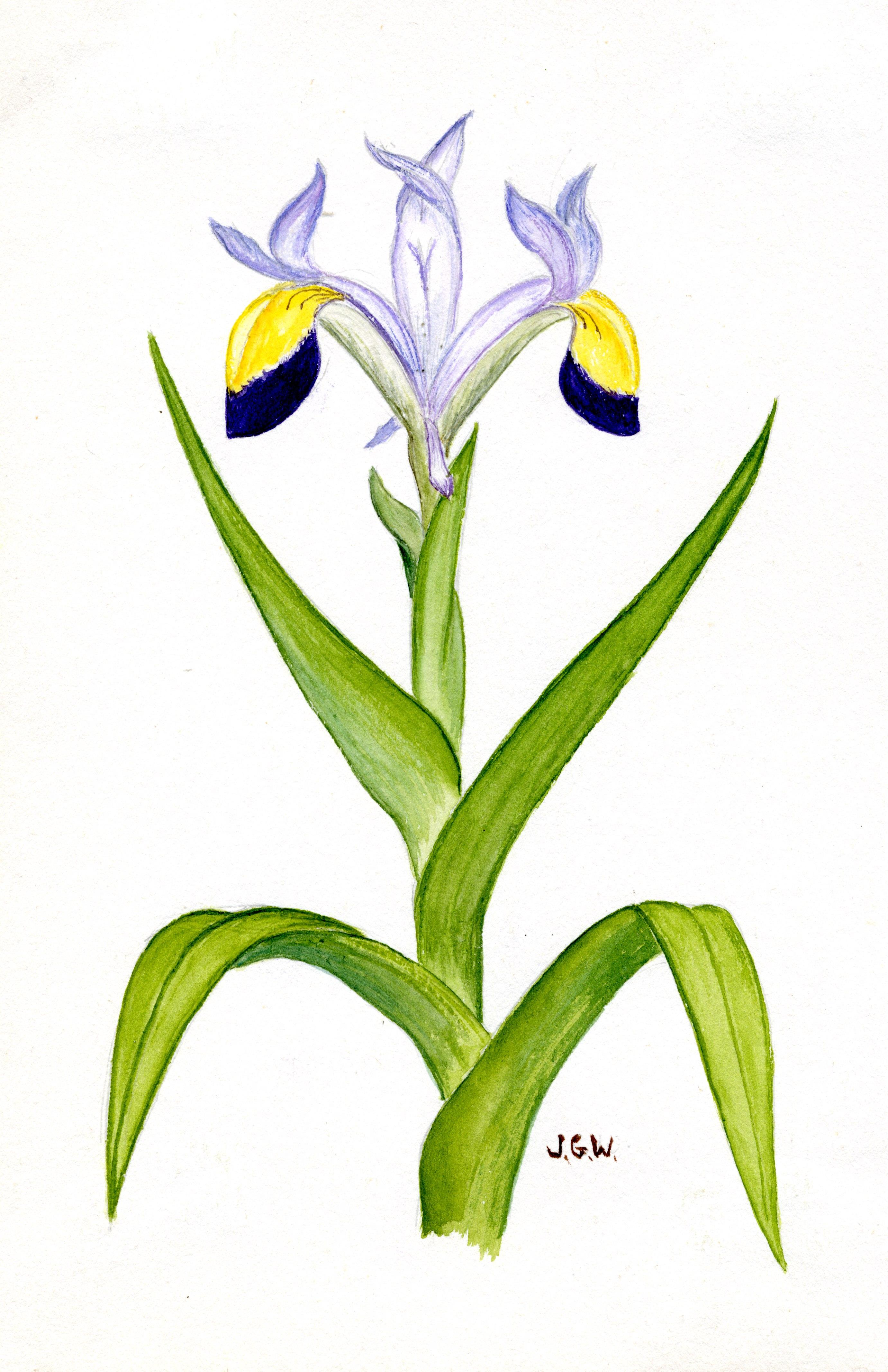'Iris warleyensis'