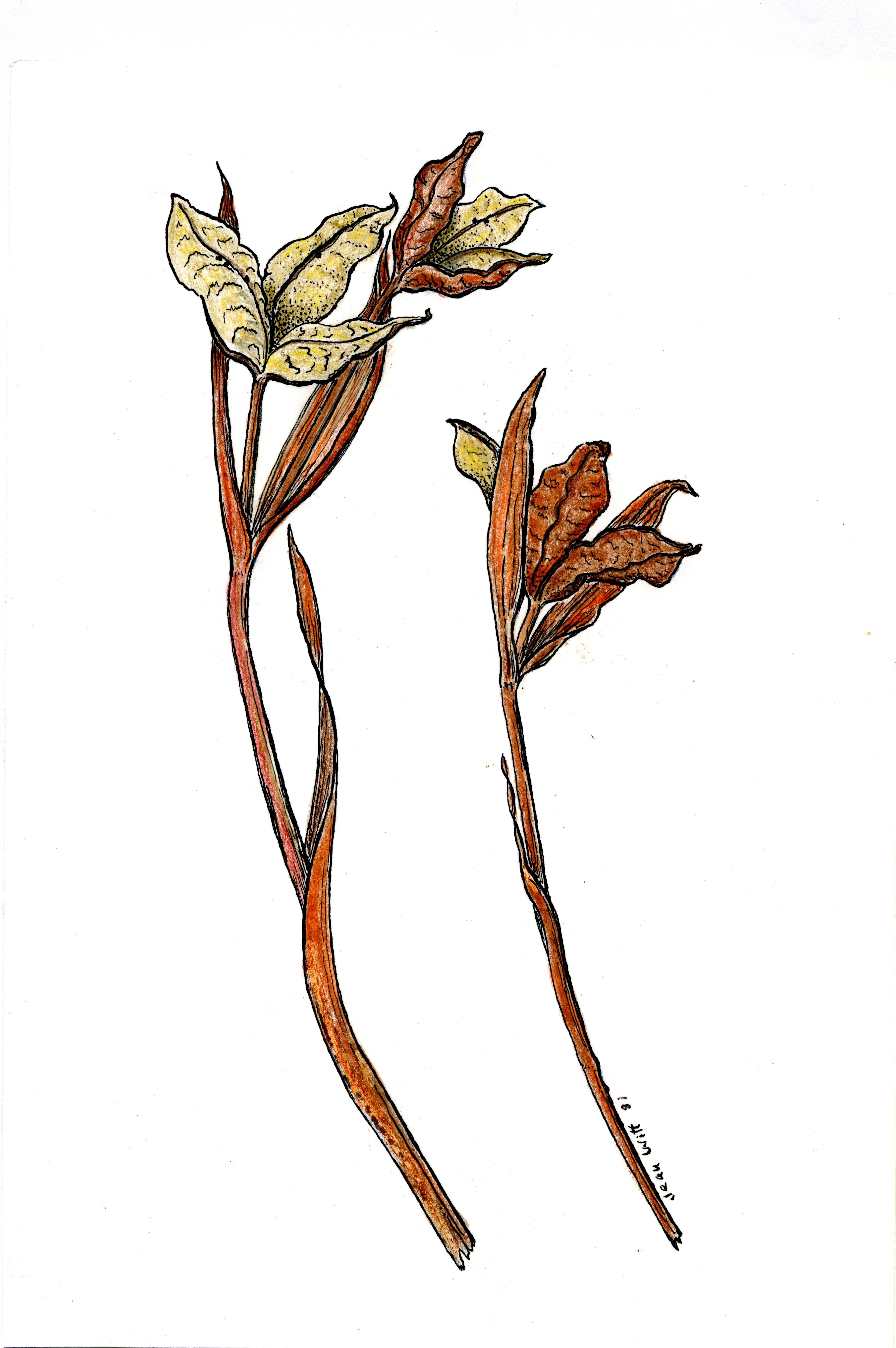 'Tenax seedpods'