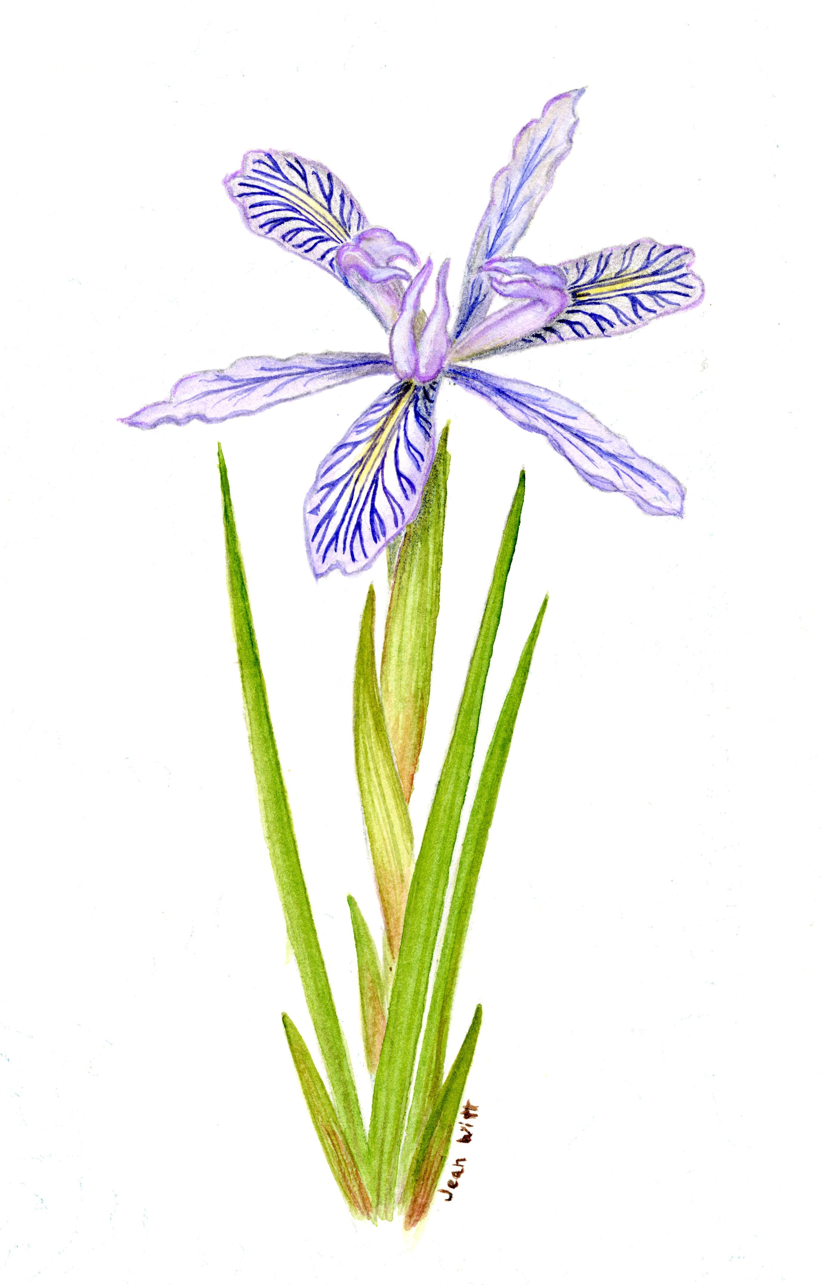 Chrysophylla-Bracteata Hybrid'