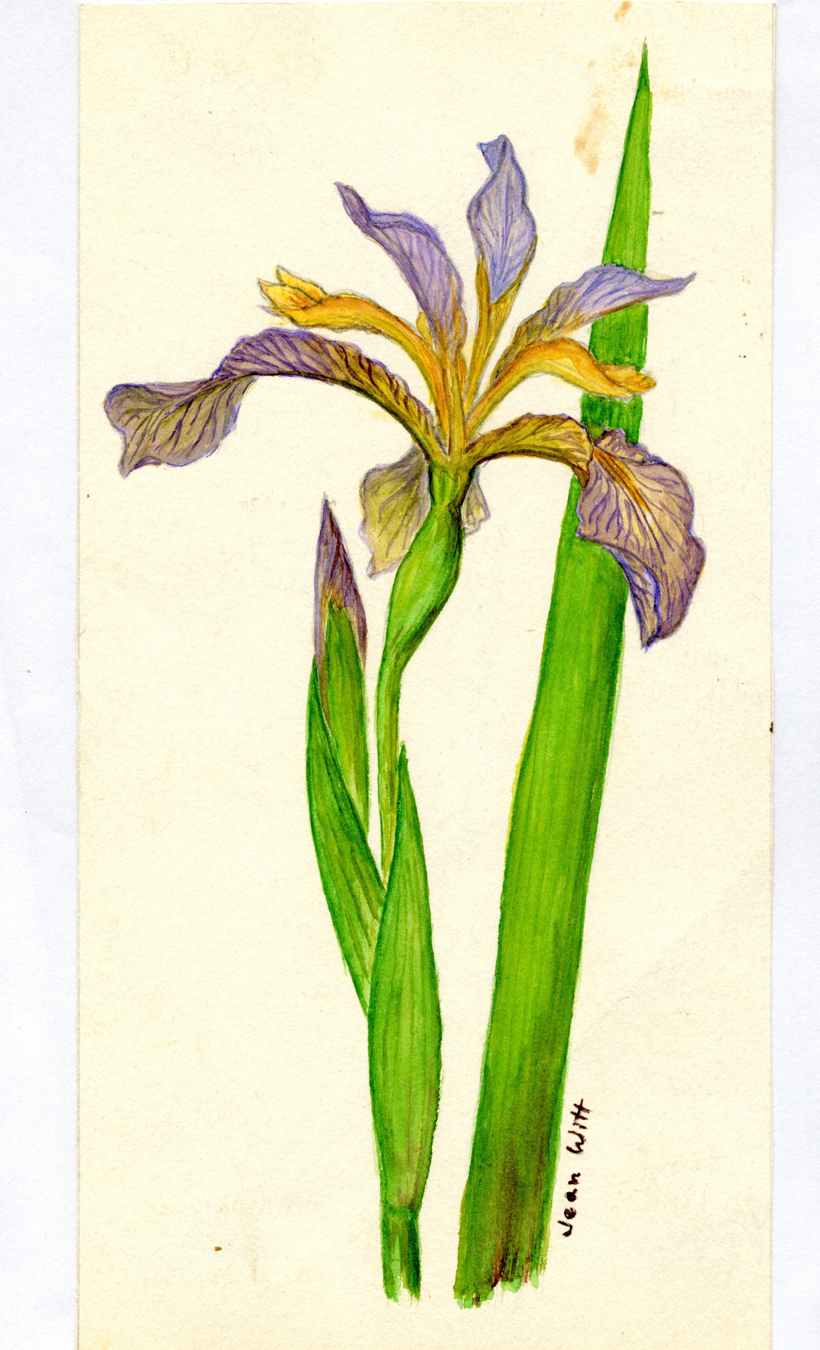 Iris foetidissima'